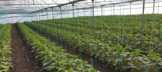 <b> Organik Salatalık <b> Tohumları Ürün Vermeye Başladı
